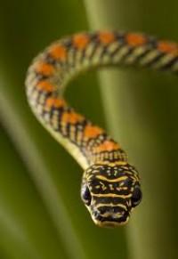Repülő kígyók
